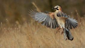 Eurasian Jay in volo nella neve immagine stock libera da diritti