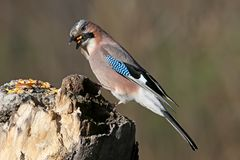 The Eurasian jay with a walnut in beak sits on a vertical log-feeder on a blurred background. The details of the plumage and the distinctive features of the Stock Photography