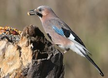 The Eurasian jay with a walnut in beak sits on a vertical log-feeder on a blurred background. The details of the plumage and the distinctive features of the Royalty Free Stock Image