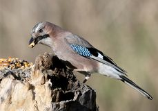 The Eurasian jay with a walnut in beak sits on a vertical log-feeder on a blurred background. The details of the plumage and the distinctive features of the Royalty Free Stock Images