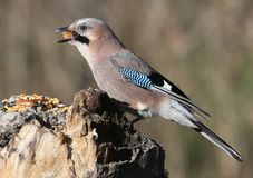 The Eurasian jay with a walnut in beak sits on a vertical log-feeder on a blurred background. The details of the plumage and the distinctive features of the Stock Image