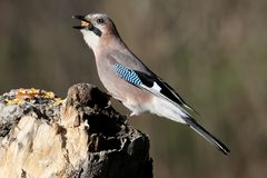 The Eurasian jay with a walnut in beak sits on a vertical log-feeder. On a blurred background. The details of the plumage and the distinctive features of the Stock Image