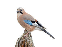 Eurasian Jay On White Royalty Free Stock Photos