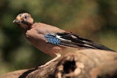 Eurasian jay. Young Eurasian jay Garrulus glandarius on the branch with green background Royalty Free Stock Photo