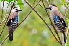 2 eurasian Jays Стоковое Фото