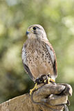 Eurasian kestrel Royalty Free Stock Photography