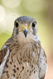 Eurasian kestrel Royalty Free Stock Images