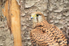 Eurasian kestrel Royalty Free Stock Image