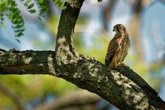 Eurasian Kestrel - Falco tinnunculus small european bird of prey sitting on the branch, in the shadow of the trees stock photos