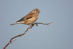 Eurasian linnet Royalty Free Stock Photography