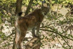 Eurasian lodjur eller europeisk lodjur Också Siberianlodjur fotografering för bildbyråer