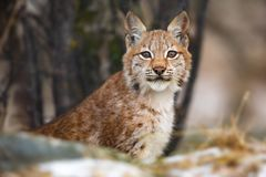 Eurasian lodjur som sitter i skogen på den tidiga vintern royaltyfri fotografi