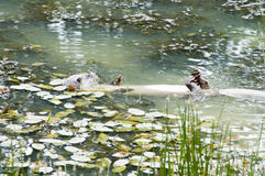 eurasian lutra wydra Obrazy Stock