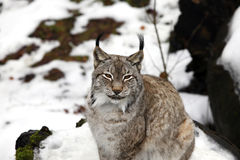 Eurasian Lynx. The Eurasian lynx ranges from central and northern Europe across Asia Stock Photos