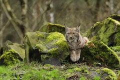 Eurasian Lynx. The Eurasian lynx is a medium-sized cat who lives in the European and Siberian forests. Sadly it `s nearly impossible to find this predator Stock Photography