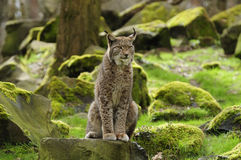 Eurasian Lynx. The Eurasian lynx is a medium-sized cat who lives in the European and Siberian forests. Sadly it `s nearly impossible to find this predator Stock Images