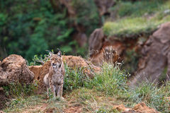 Eurasian lynx. In a wild life park Royalty Free Stock Photo