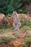 Eurasian lynx. In a wild life park Stock Photography