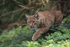 Eurasian lynx. The strolling eurasian lynx in the forest Stock Photo
