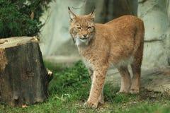 Eurasian lynx. The strolling eurasian lynx in the grass Stock Photo