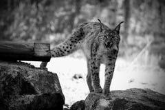 Eurasian lynx Royalty Free Stock Photography