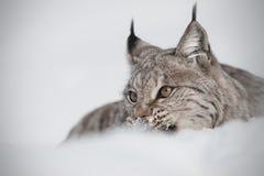 Eurasian Lynx. A Eurasian Lynx eating prey partially hidden in deep snow Royalty Free Stock Photography