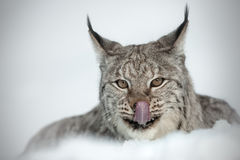 Eurasian Lynx. A Eurasian Lynx licking its' lips after eating Stock Photos