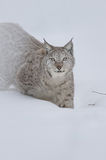 Eurasian Lynx. A Eurasian Lynx stalking its way through deep snow and staring into the camera with a steady gaze Stock Photography
