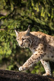 Eurasian Lynx Royalty Free Stock Images