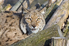 eurasian lynx Στοκ Εικόνα