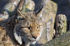 eurasian lynx Στοκ εικόνα με δικαίωμα ελεύθερης χρήσης