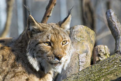 eurasian lynx Στοκ Φωτογραφίες