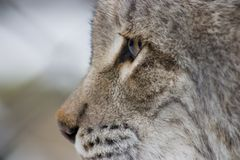 Eurasian Lynx. Side portrait of Eurasian Lynx cat Stock Photos