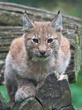 eurasian lynx Στοκ Εικόνες