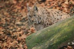 Eurasian lynx. The adult eurasian lynx behind the trunk Royalty Free Stock Images
