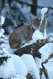 Eurasian lynx in the bavarian national park in eastern germany Stock Image