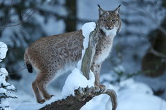 Eurasian lynx in the bavarian national park in eastern germany Royalty Free Stock Images