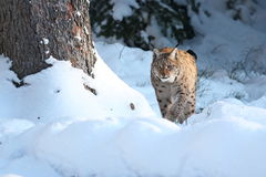 Eurasian lynx in the bavarian national park in eastern germany Royalty Free Stock Photos