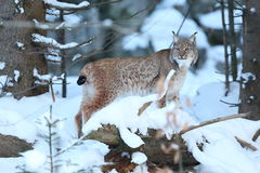Eurasian lynx in the bavarian national park in eastern germany. European wild cats, animals in european forests, lynx lynx Stock Photography