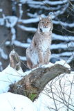 Eurasian lynx in the bavarian national park in eastern germany. European wild cats, animals in european forests, lynx lynx Stock Photos