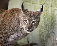 Eurasian Lynx in captivity. Ears raised Stock Photography