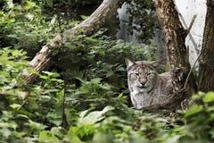 Eurasian Lynx in captivity. Sitting in bushes Royalty Free Stock Images