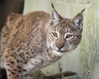 Eurasian Lynx in captivity. Feeding Royalty Free Stock Photography