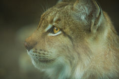 Eurasian lynx close-up Royalty Free Stock Photography