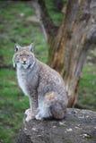 Eurasian Lynx closeup. Eurasian Lynx - Lynx lynx - on a stone Royalty Free Stock Photo