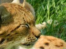 Eurasian Lynx closeup with eyes closed Stock Images