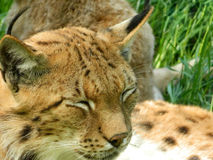 Eurasian Lynx closeup with eyes closed. Lynx have a short tail, characteristic tufts of black hair on the tips of their ears, large, padded paws for walking on Stock Images