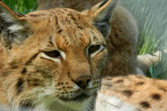Eurasian Lynx closeup with eyes open. Lynx have a short tail, characteristic tufts of black hair on the tips of their ears, large, padded paws for walking on Royalty Free Stock Photo