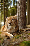 Eurasian lynx Royalty Free Stock Photography