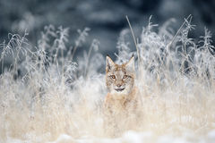 Eurasian lynx cub hidden in high yellow grass with snow Stock Photos